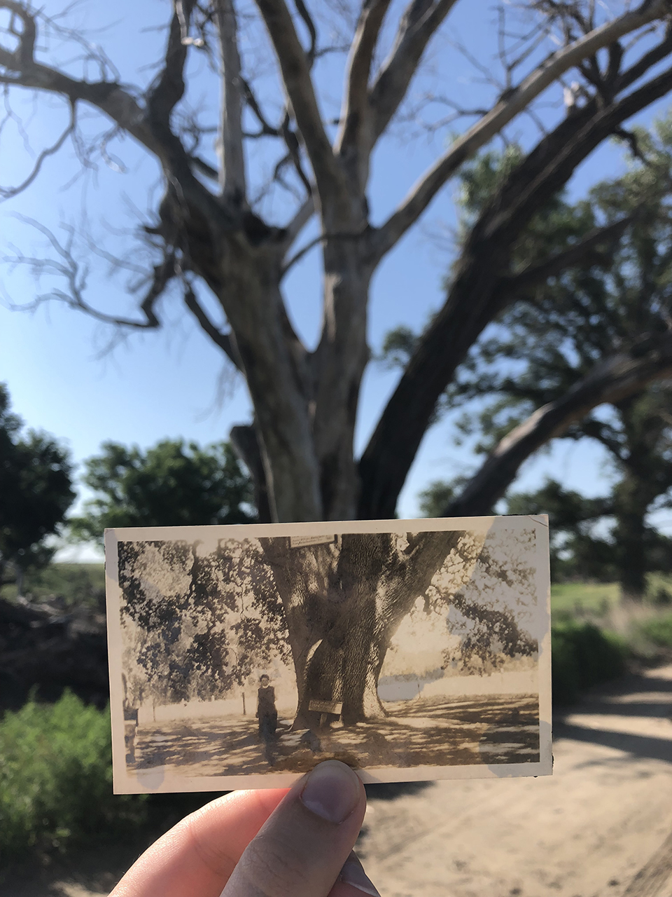 Photograph of a photograph of my great-great grandmother in front of the tree she is pictured in front of