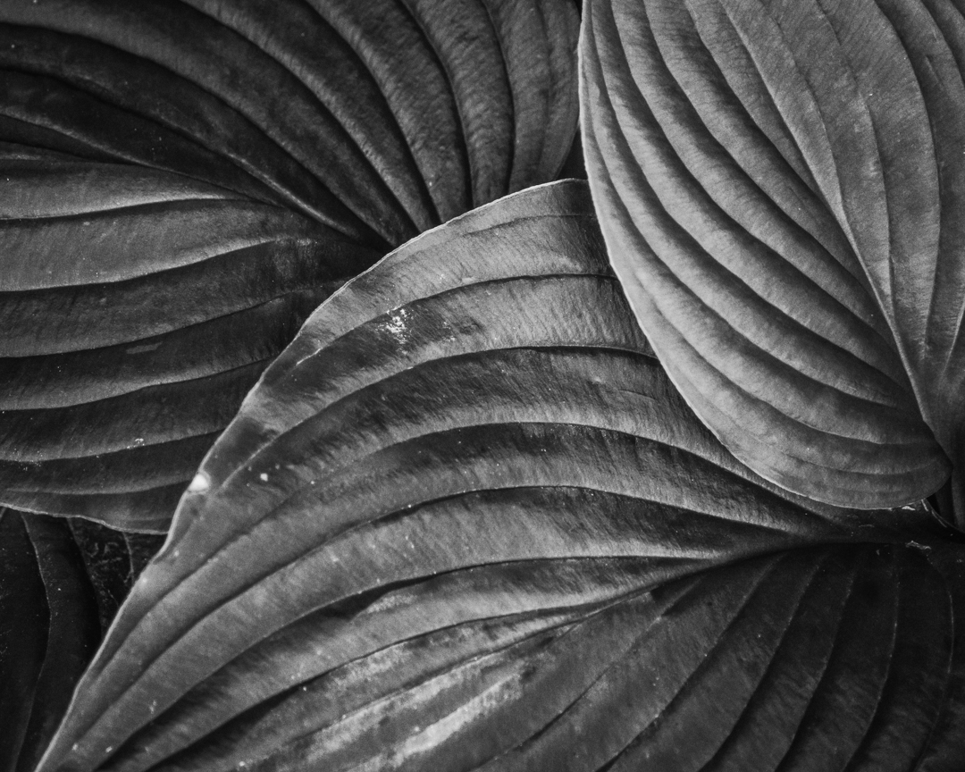 Black and white photograph of hosta plant