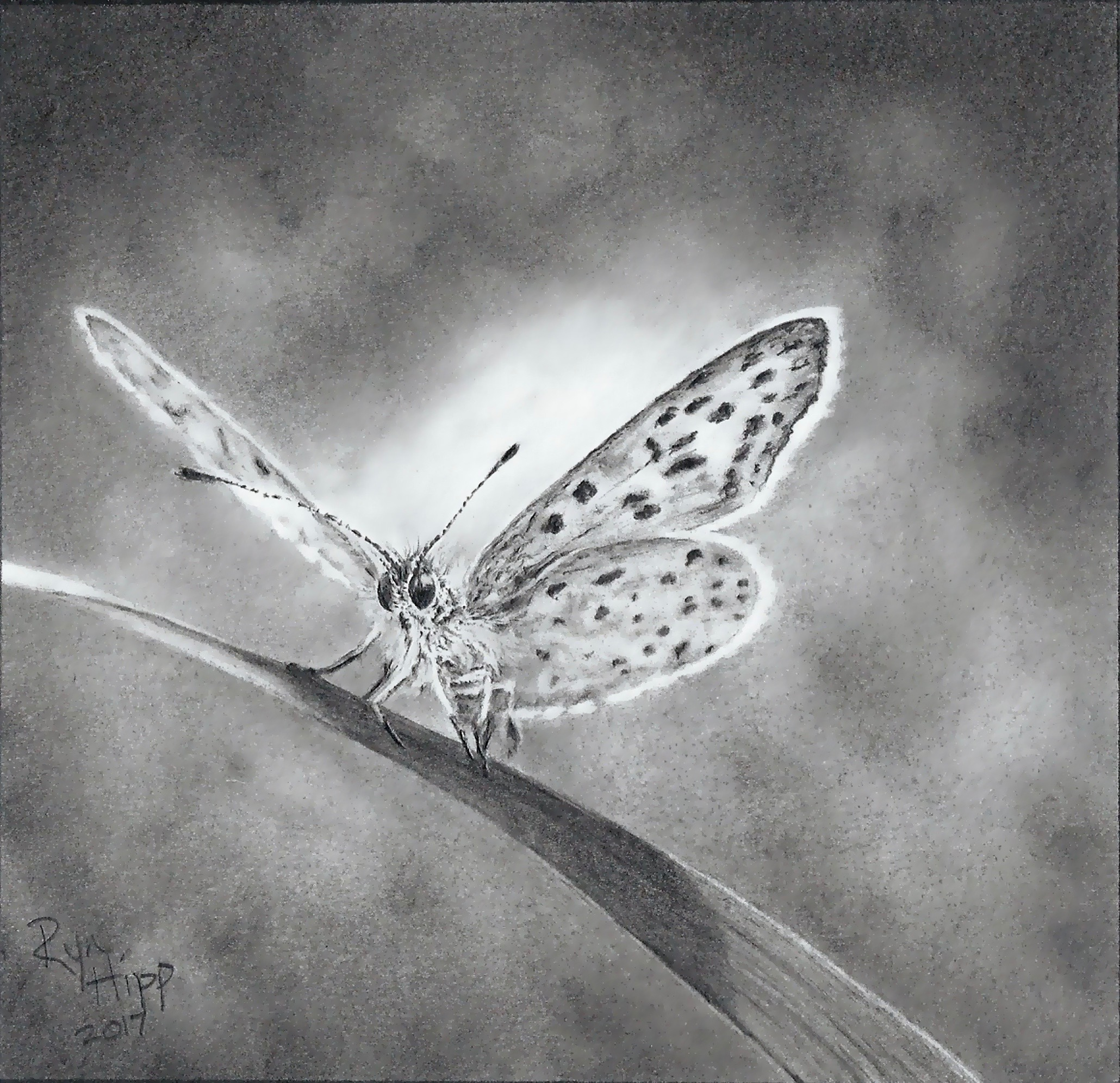 Graphite drawing of a butterfly