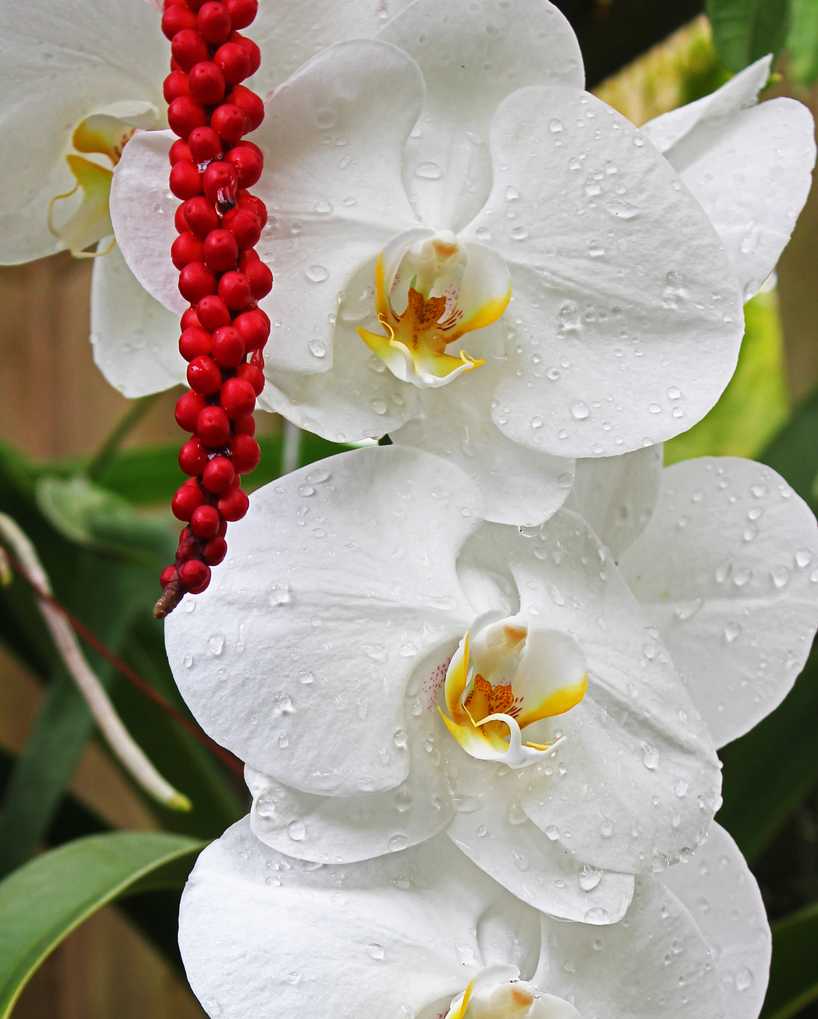 Red berries hanging next to  pure white orchid- type flowers