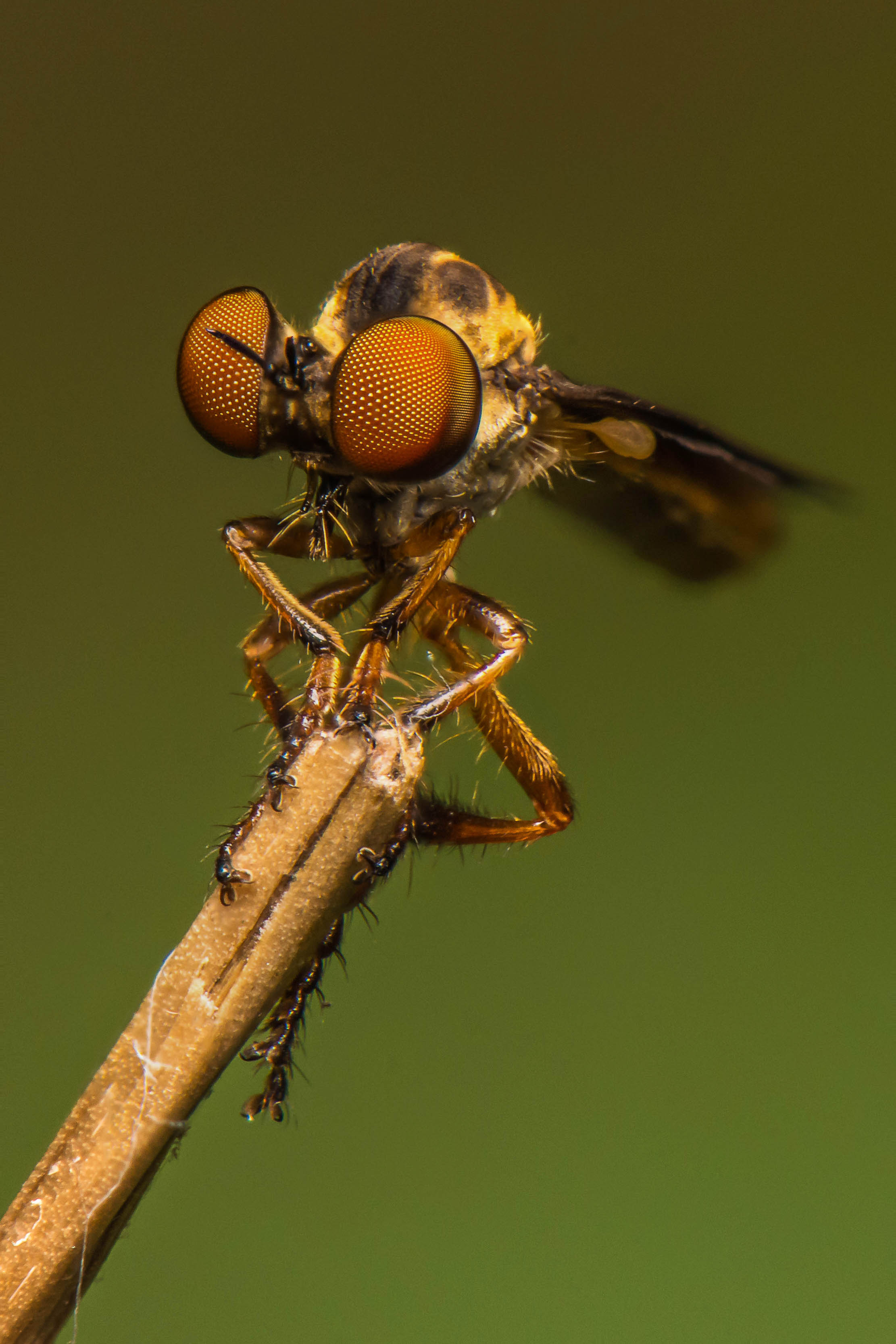 Gnat-ogre robber fly at the Monocacy Aqueduct, Maryland