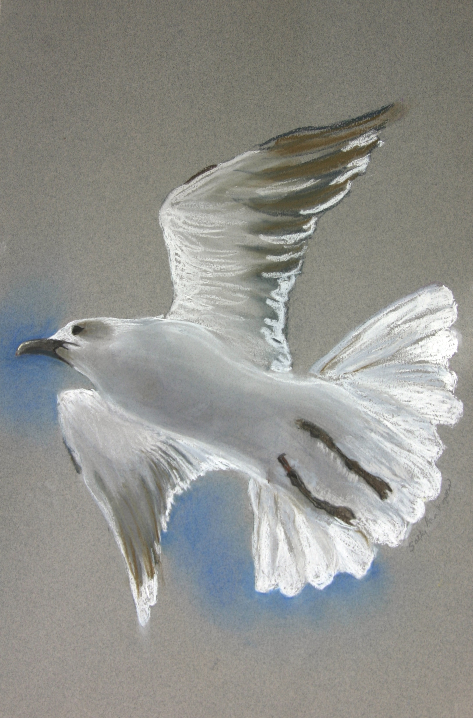 Pastel of a seagull in flight; on a gray background