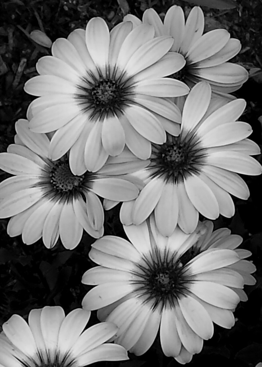 Black&White Photograph of Daisies