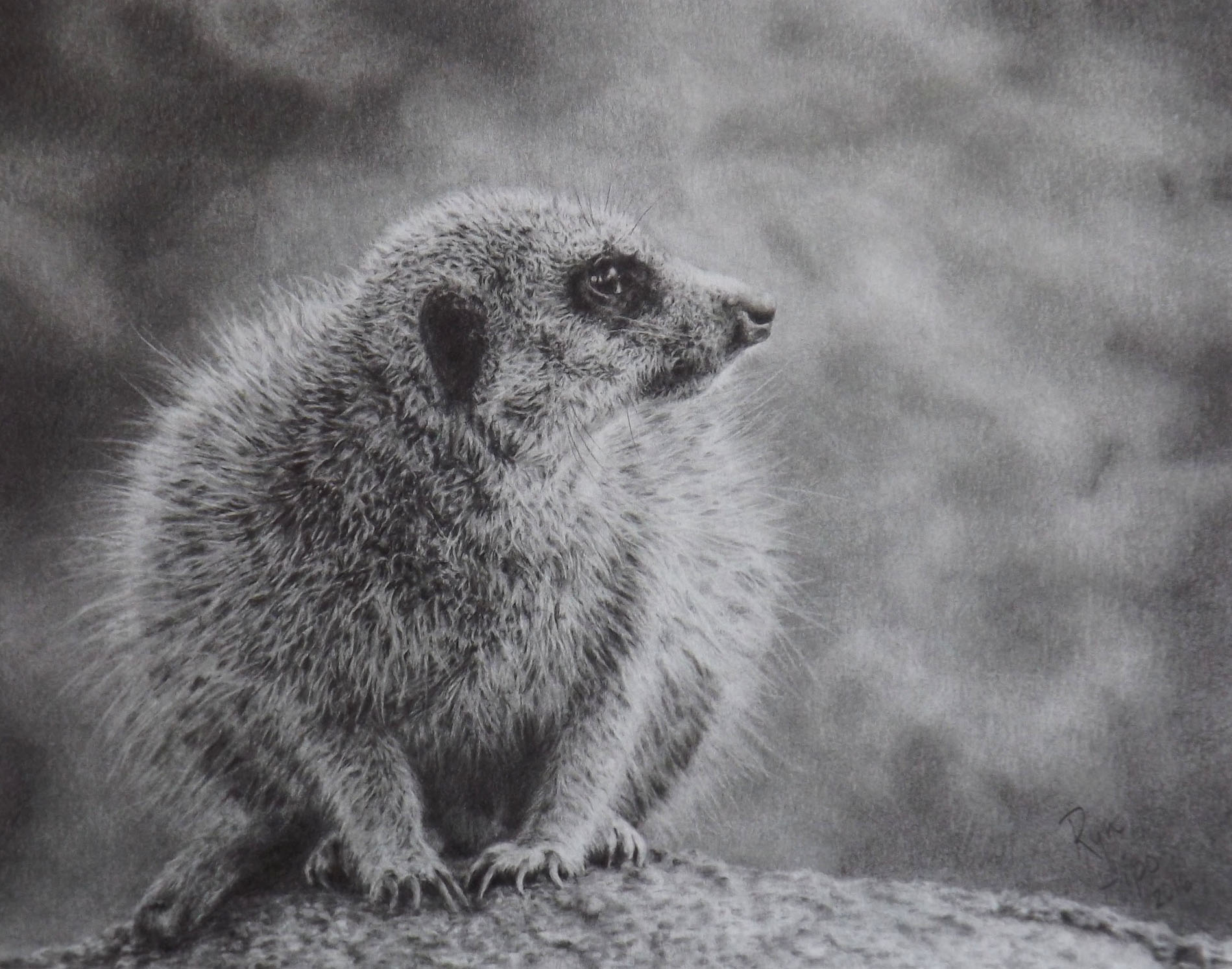 Graphite drawing of a meerkat
