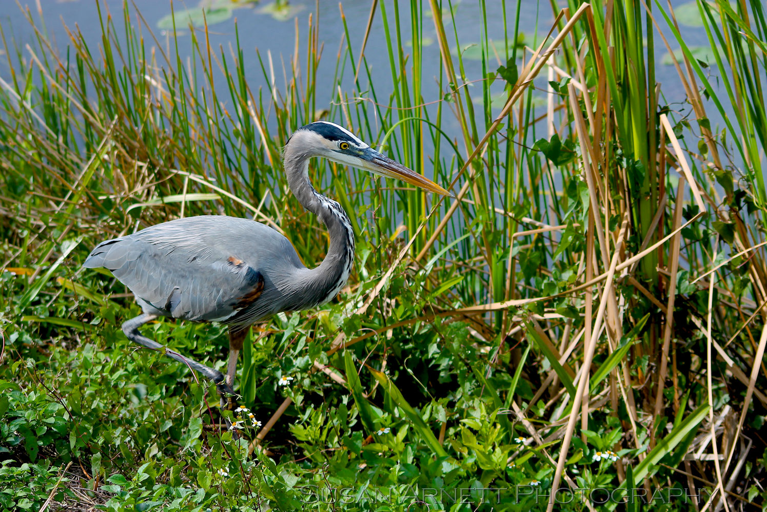 A Great Blue Heron hunts in the Florida Everglades for its next meal.