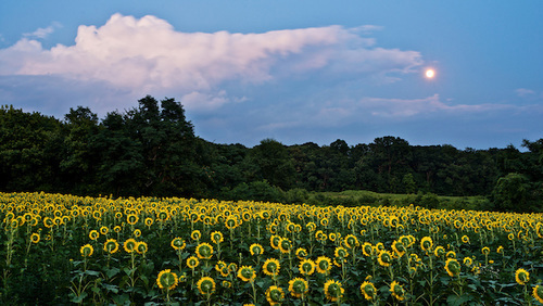 Blue, Green, Moonshine, Petals, Sky, Summer, Sunfllowers, Sunflower, Yellow, clouds, evening, field, full moon, moon