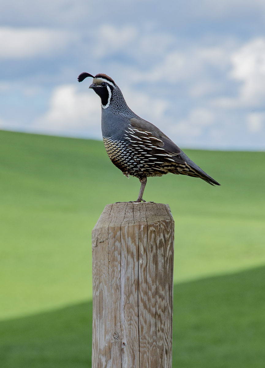 California Quail perched atop a fence post in the Palouse Region of Washington State