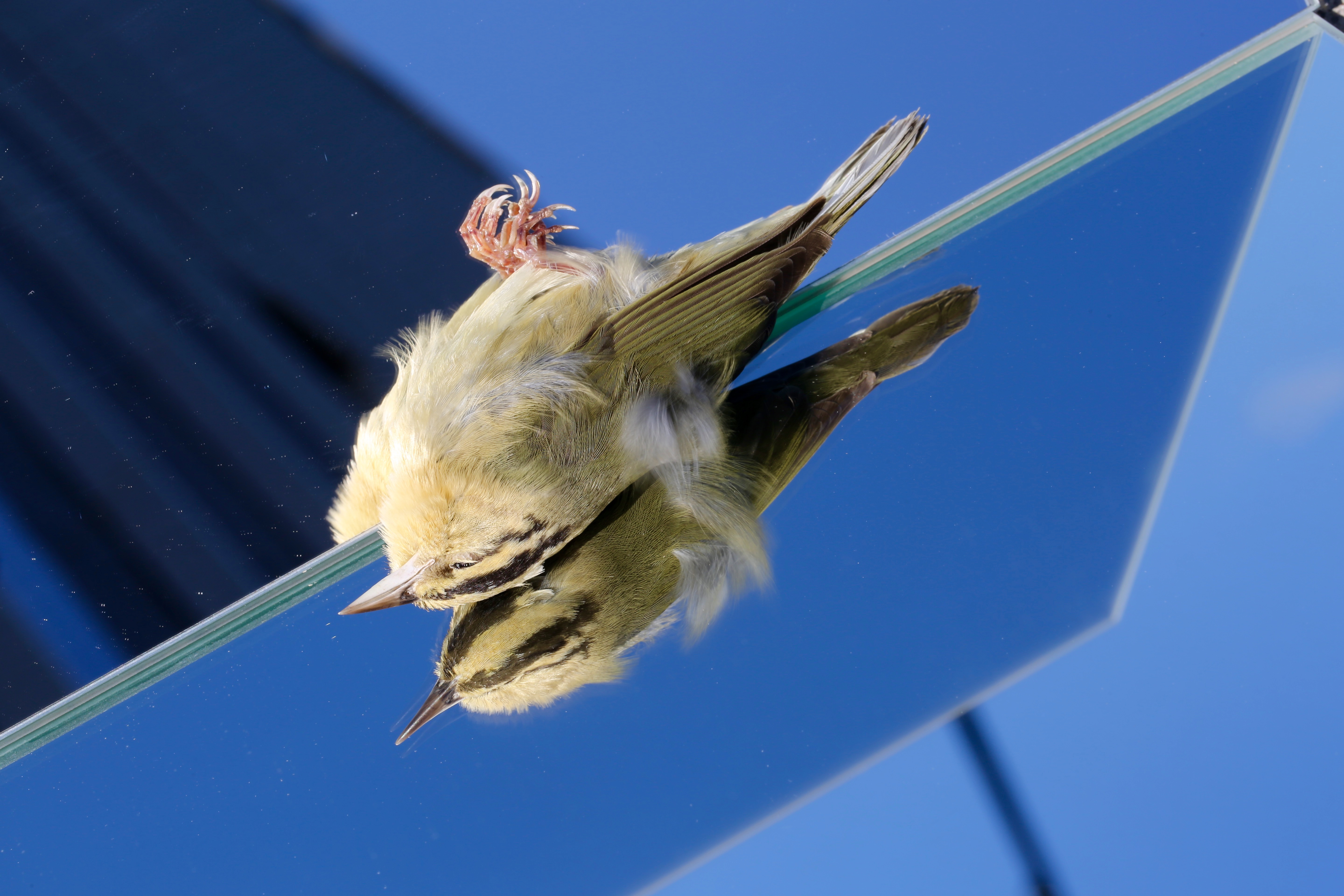 Death by Glass: Worm-eating Warbler