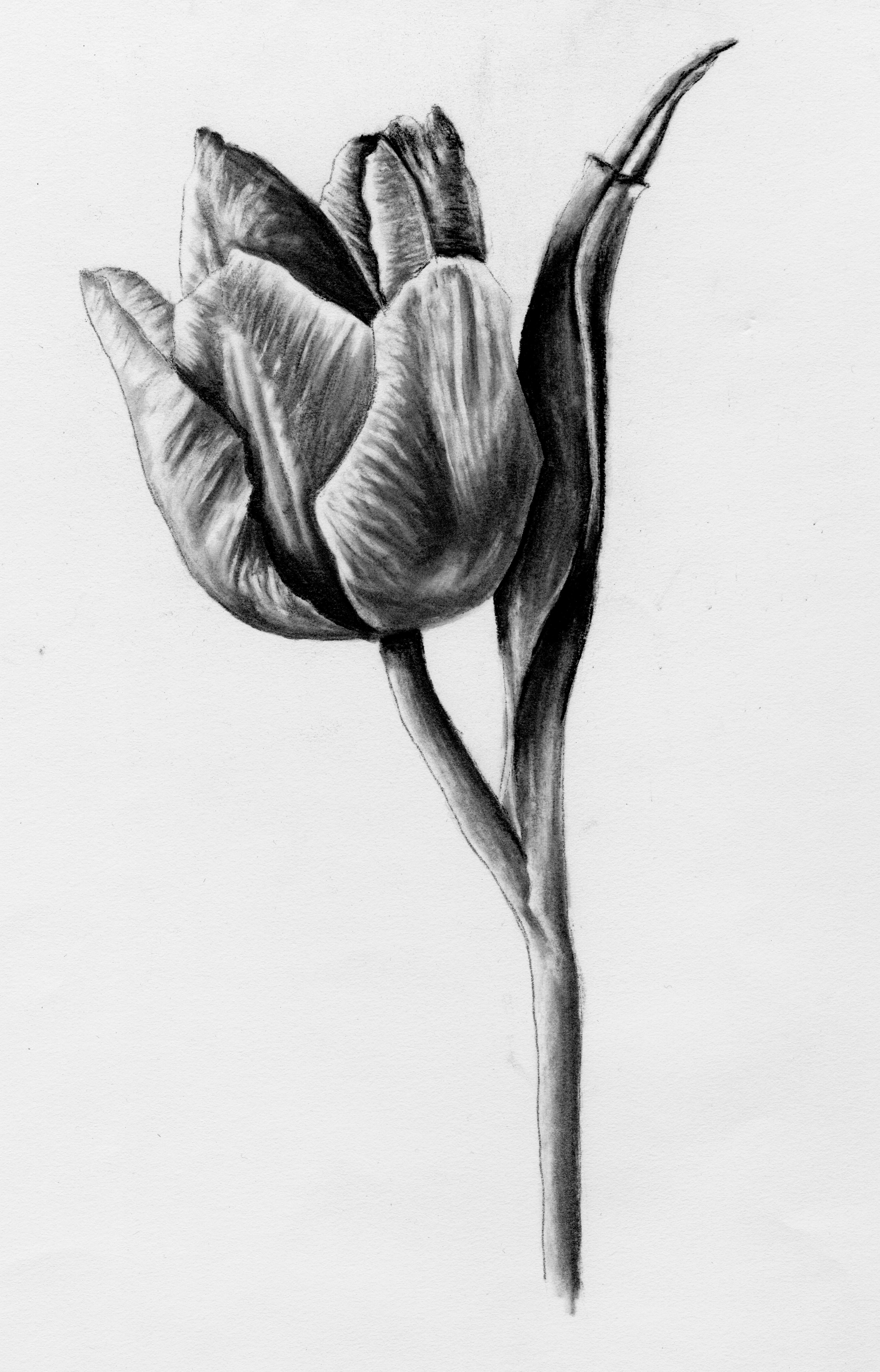 Charcoal rendering of a single tulip.