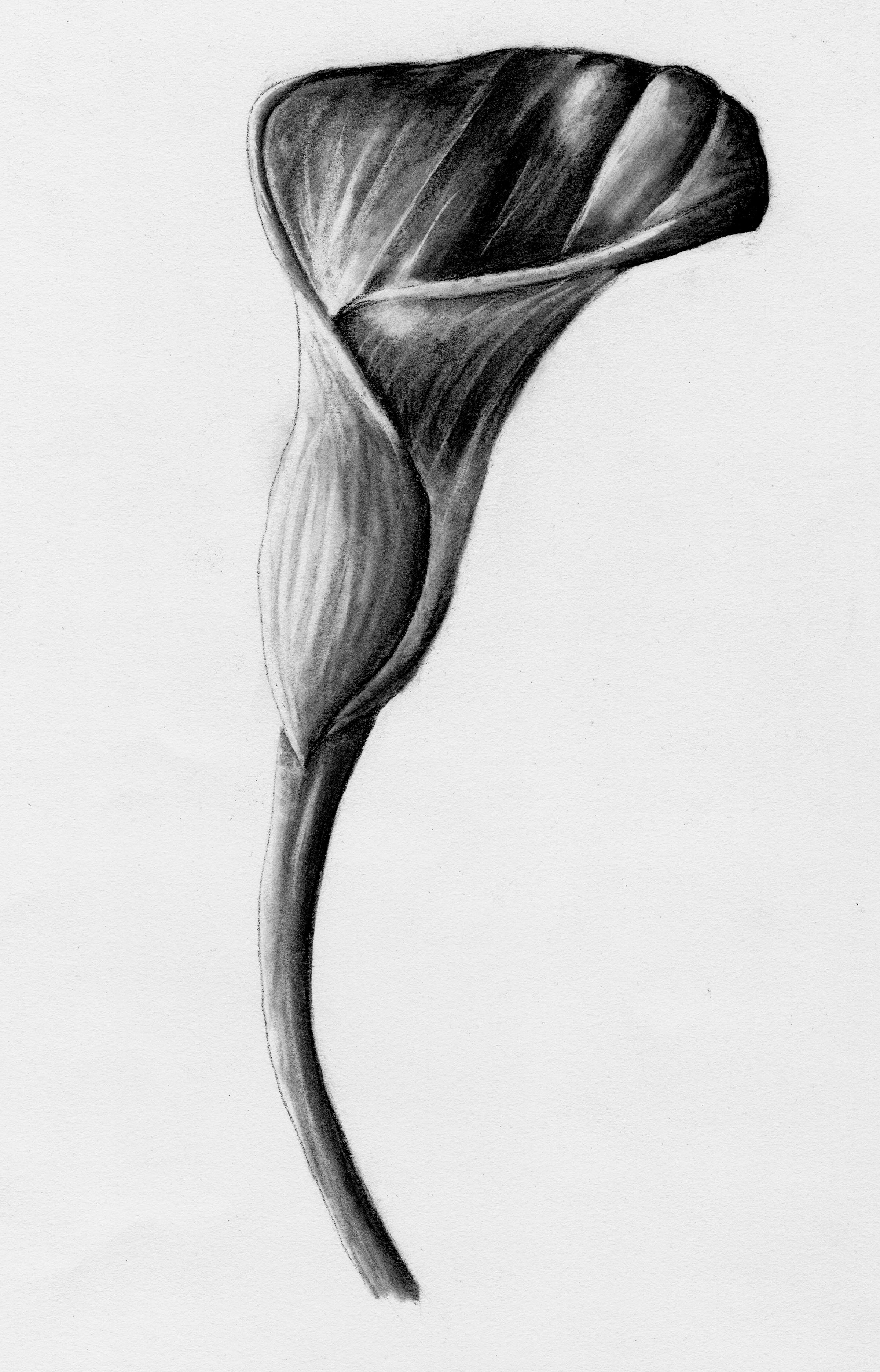 Charcoal rendering of a single calla lily.