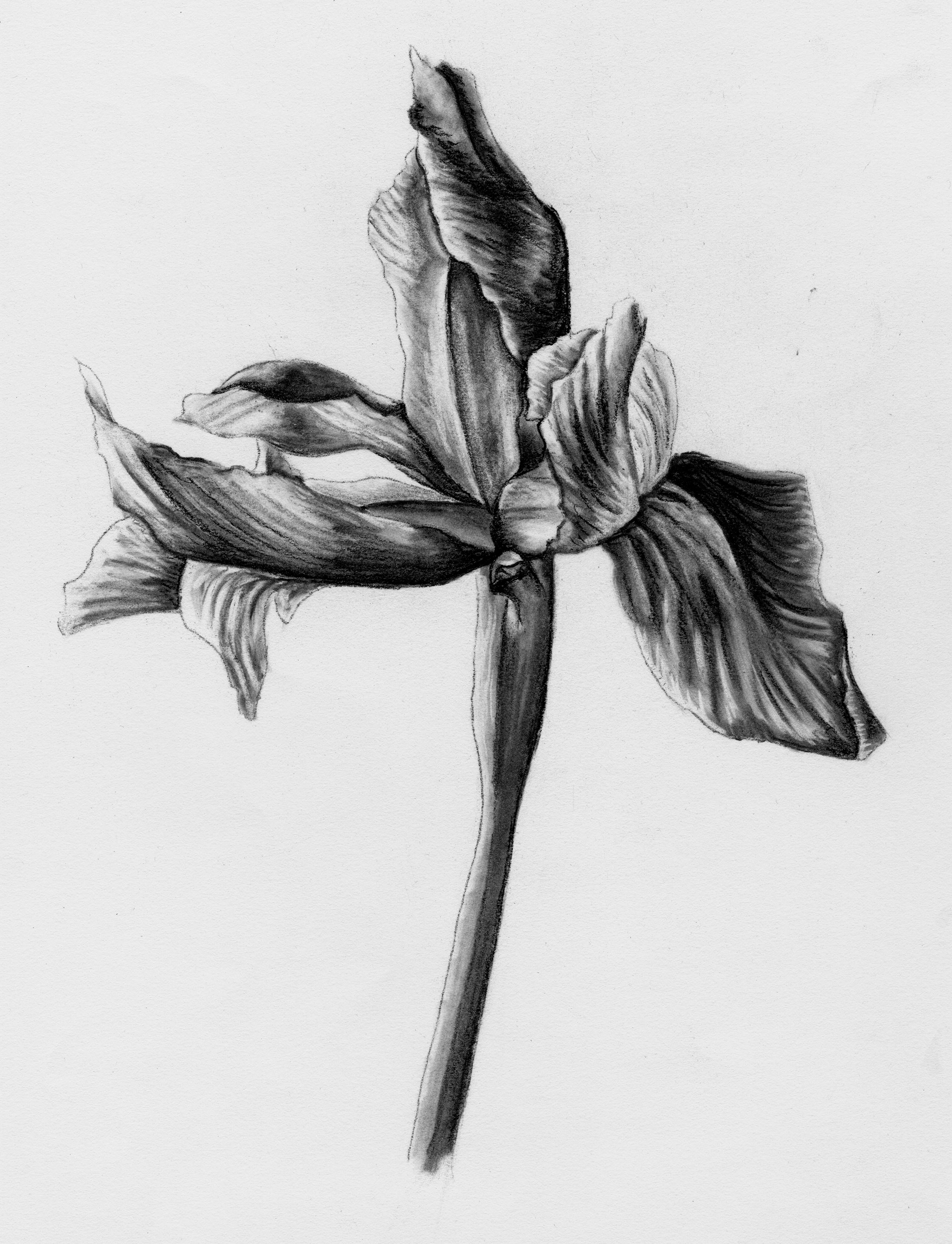 Charcoal rendering of a single iris.
