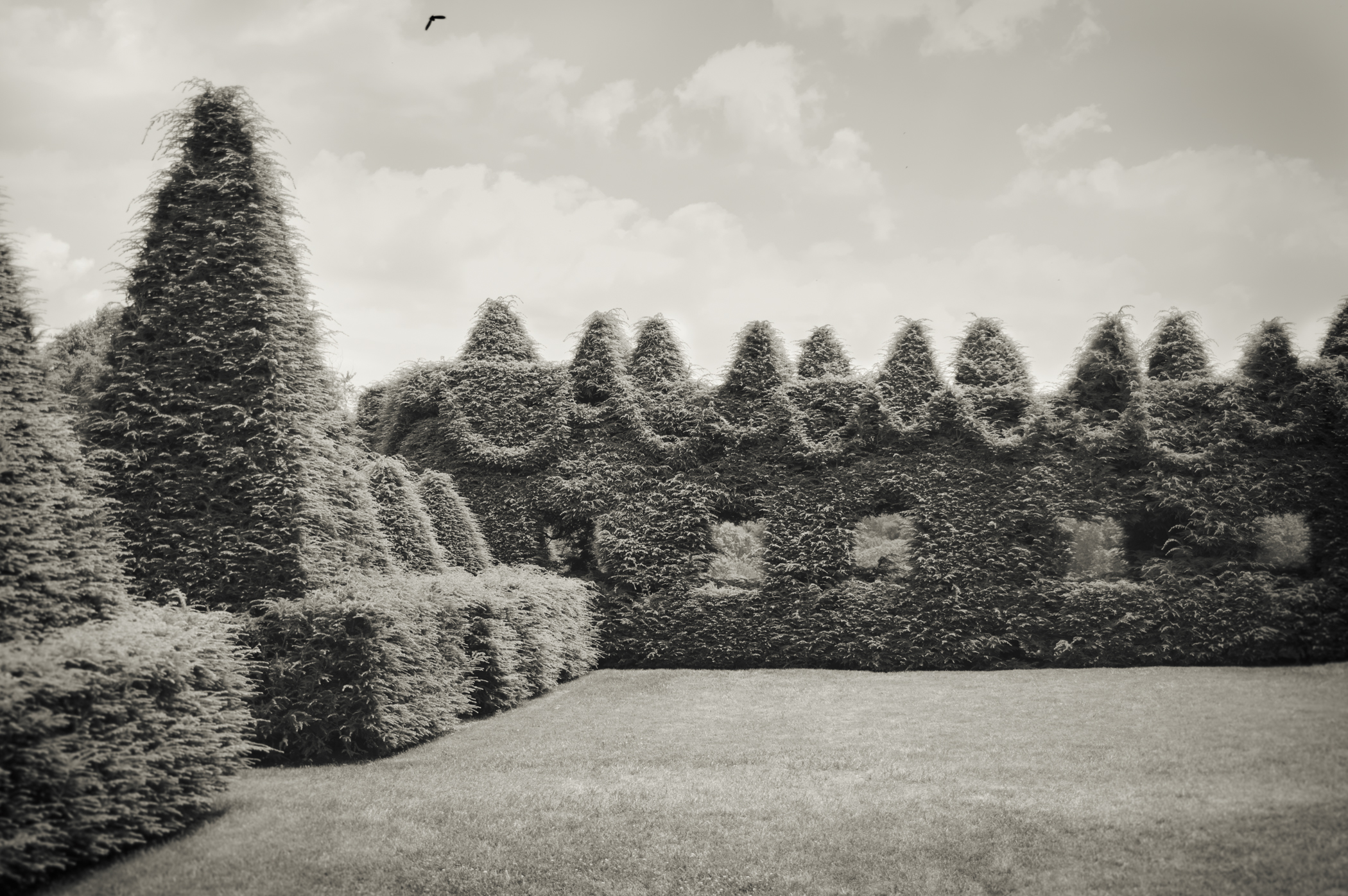 Picture of hedge wall